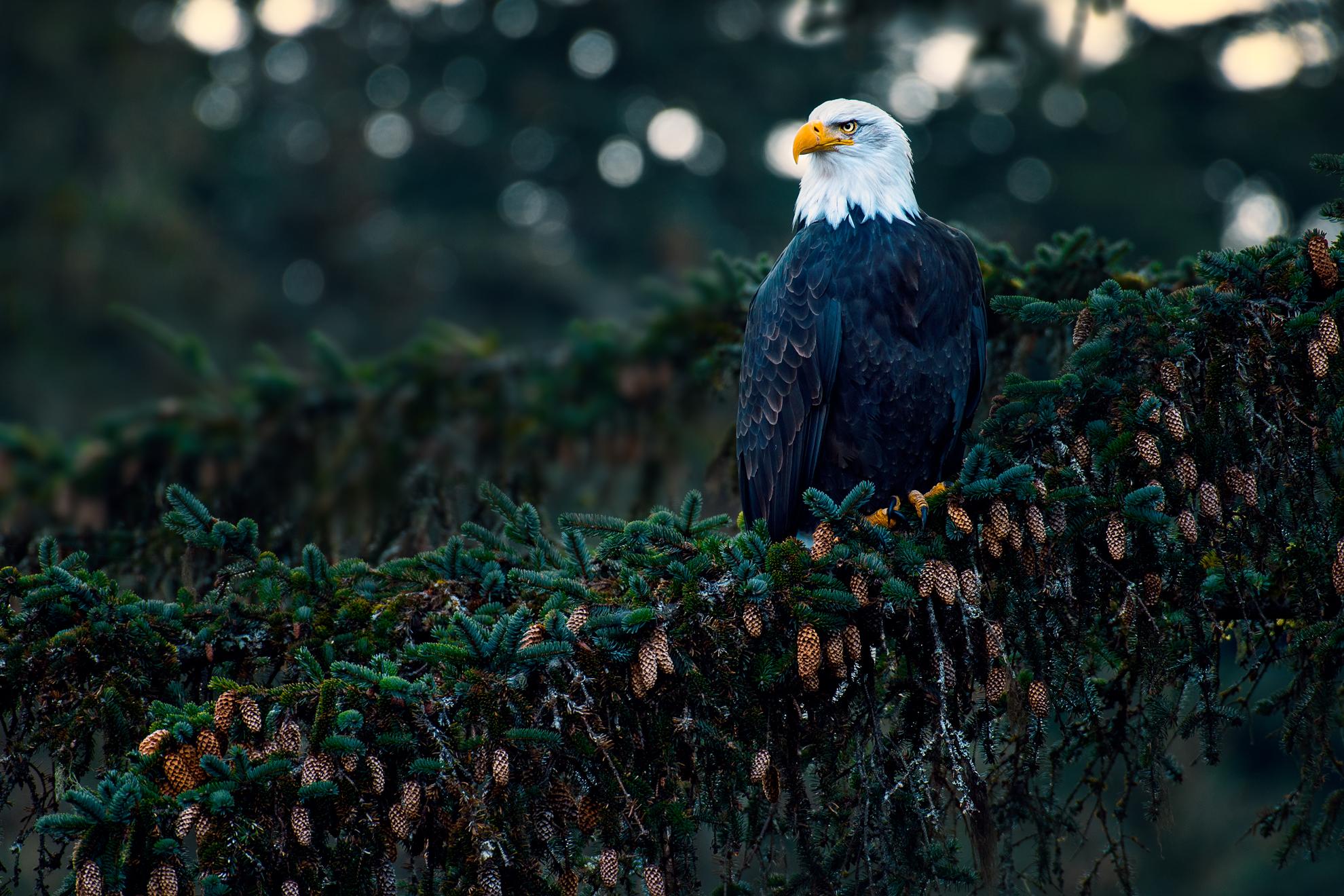 ChilkootBaldEagle©BrianRiveraUncapher.jpg