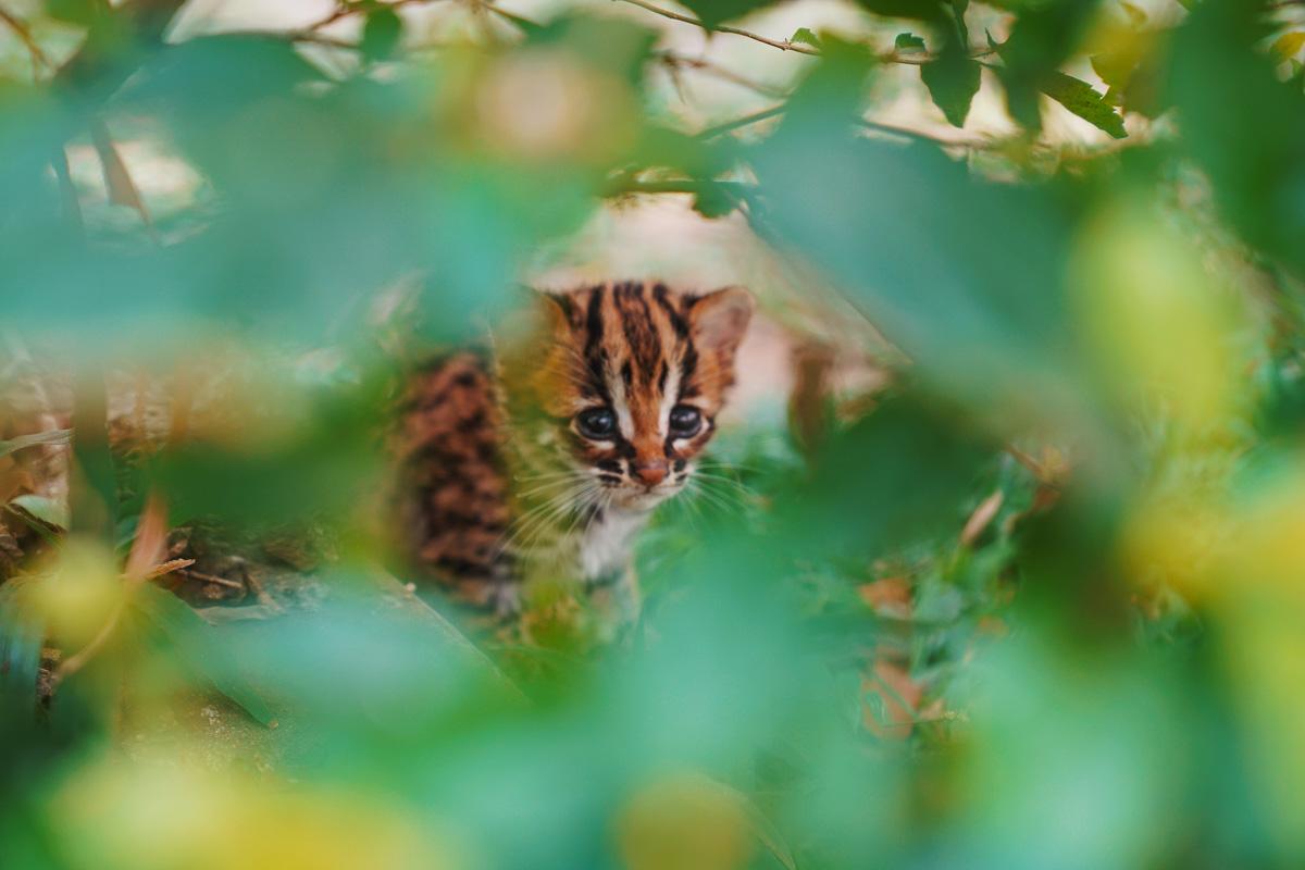 Asoka Remadja Katun Kucing Hutan-4.jpg