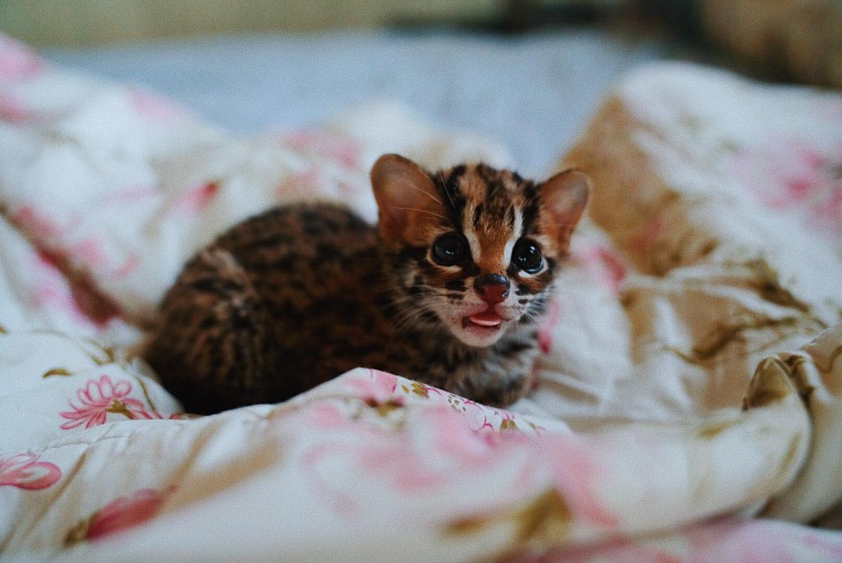 Asoka Remadja Katun Kucing Hutan-7.jpg