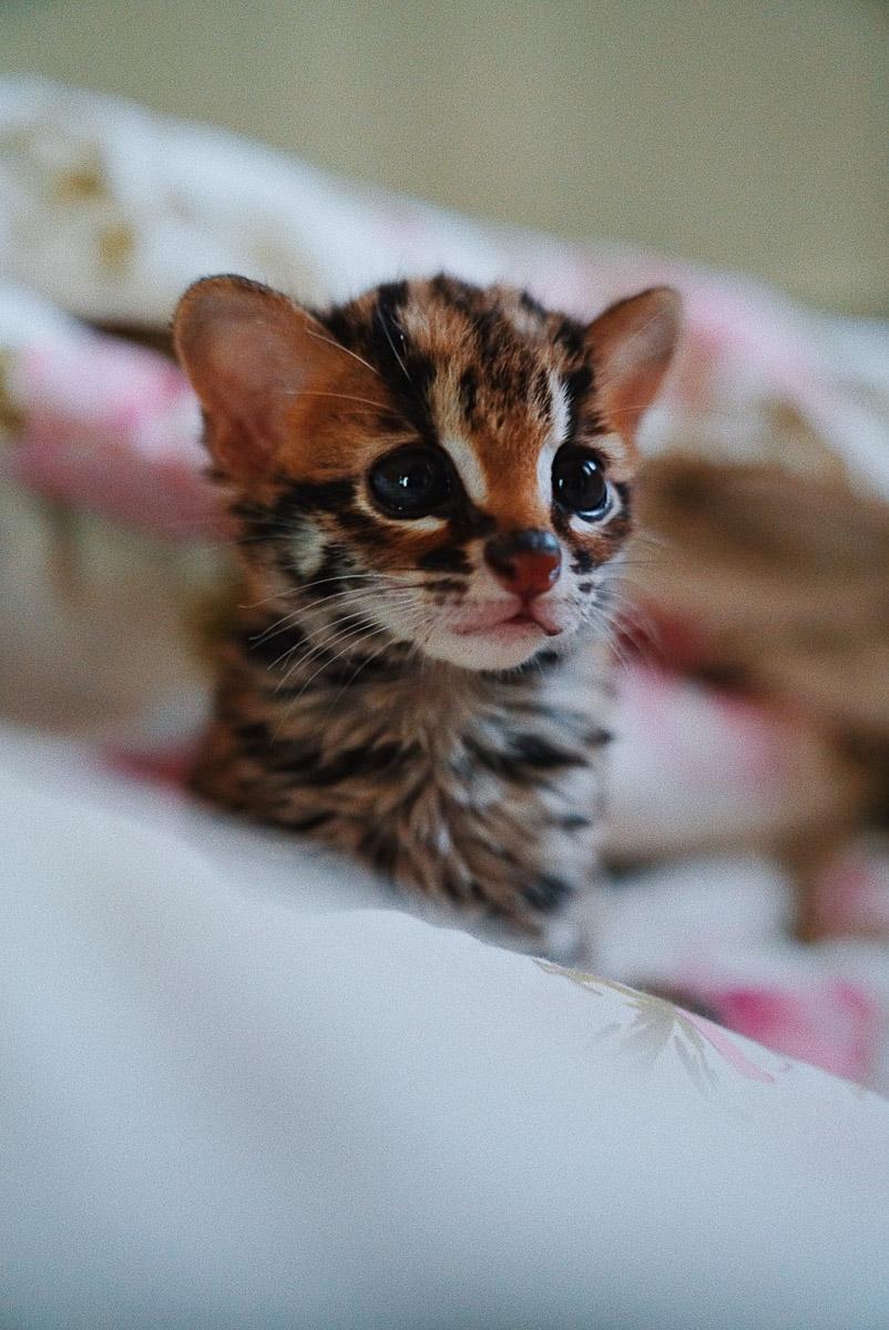 Asoka Remadja Katun Kucing Hutan-9.jpg
