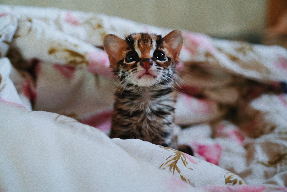 Asoka Remadja Katun Kucing Hutan-8.jpg