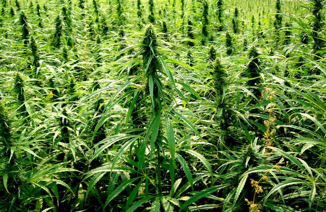 Hemp Plantation - The USA has recently made legal the harvesting of the Cannabas Sativa plant for commercial purposes. The industrial non-intoxicating hemp industry has exploded with the production of products using the fibre, seeds and Cannabidiol (CBD). This is the non-Tetrahydrocannabinol (THC) variety.Medical marijuana incorporating THC has been available for some time.
