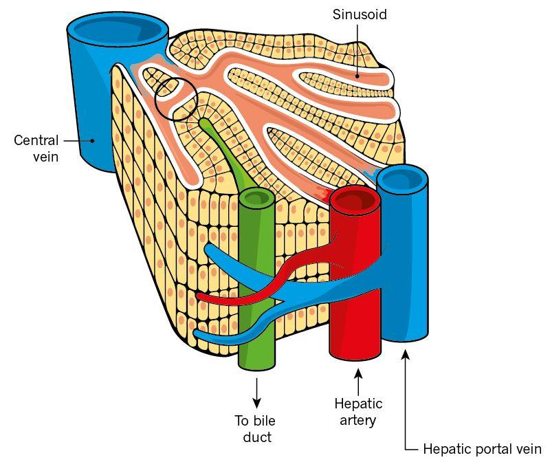 2 part of liver.jpg