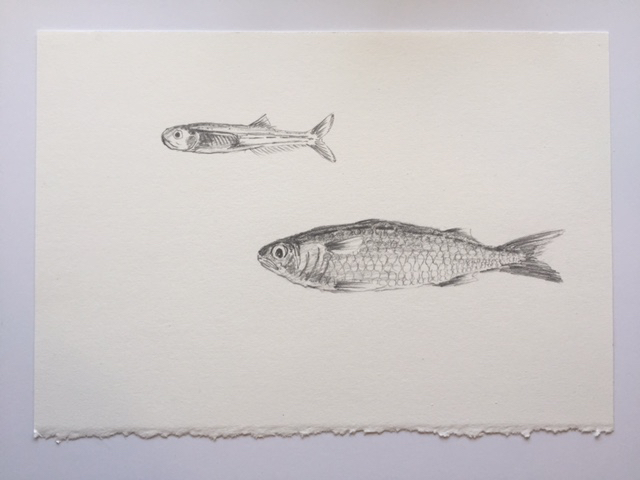 "Bay Anchovy and Finger Mullet, pencil on paper, 7"" x 10"""