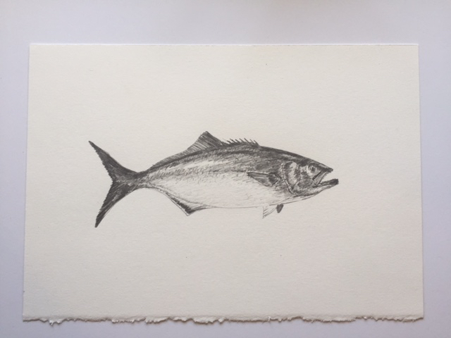 "Bruiser Bluefish, pencil on paper, 7"" x 10"""