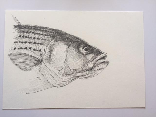 "Striper (Portrait), pencil on paper, 7"" x 10"""