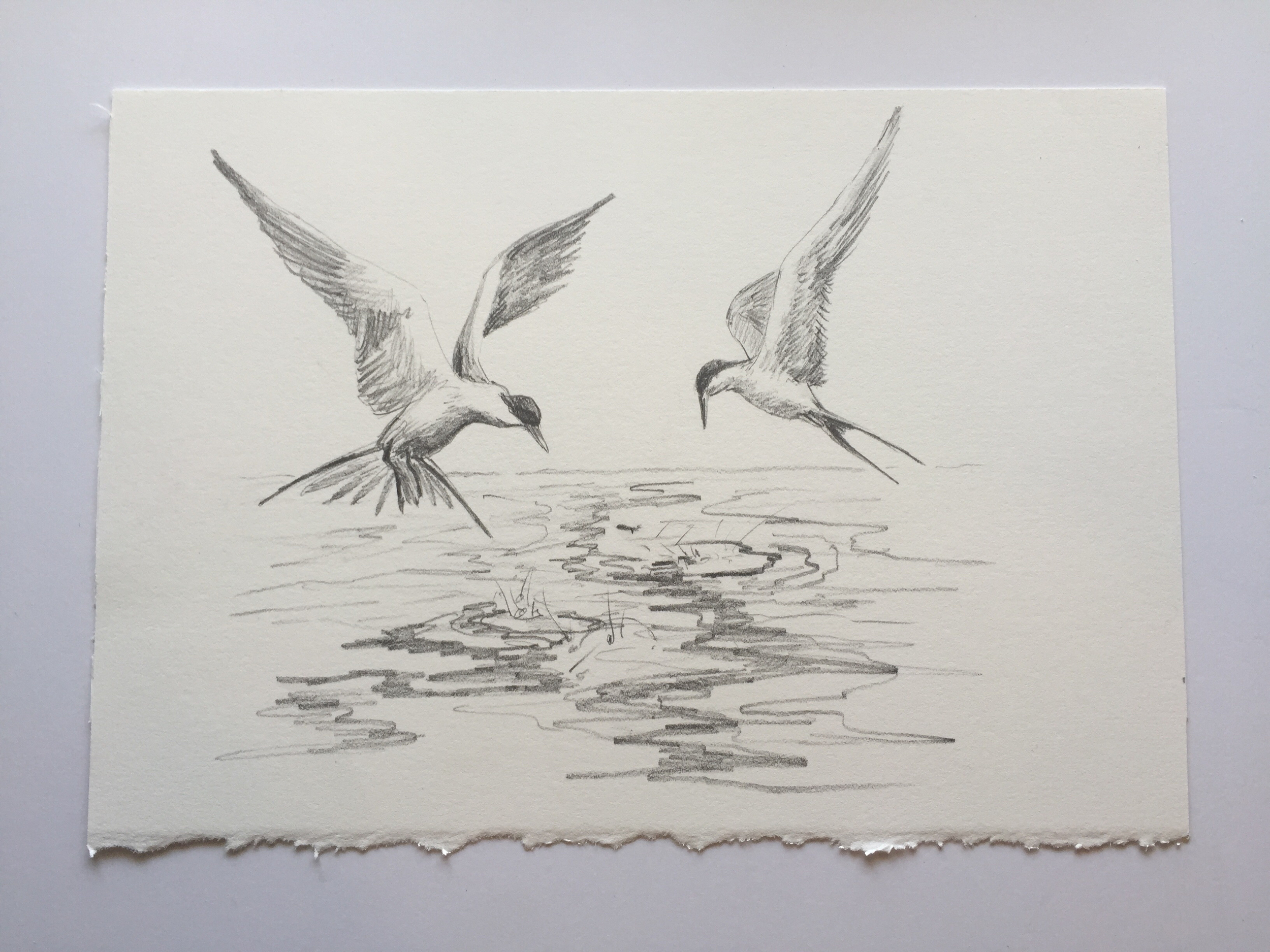 "Forster's Terns, pencil on paper, 7"" x 10"""
