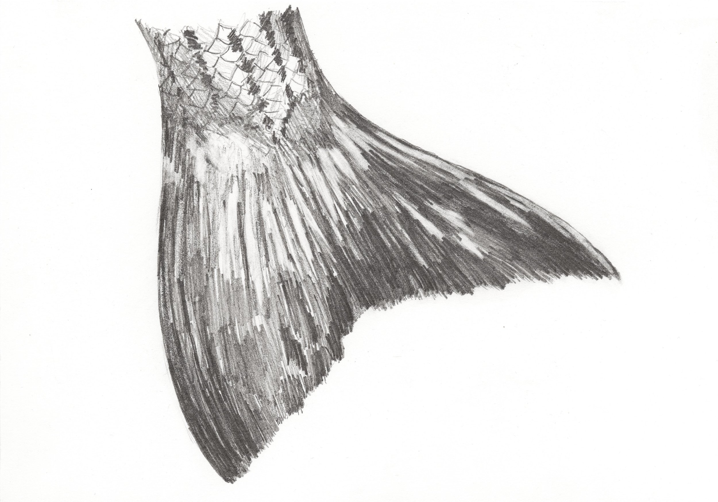 Broom Tail