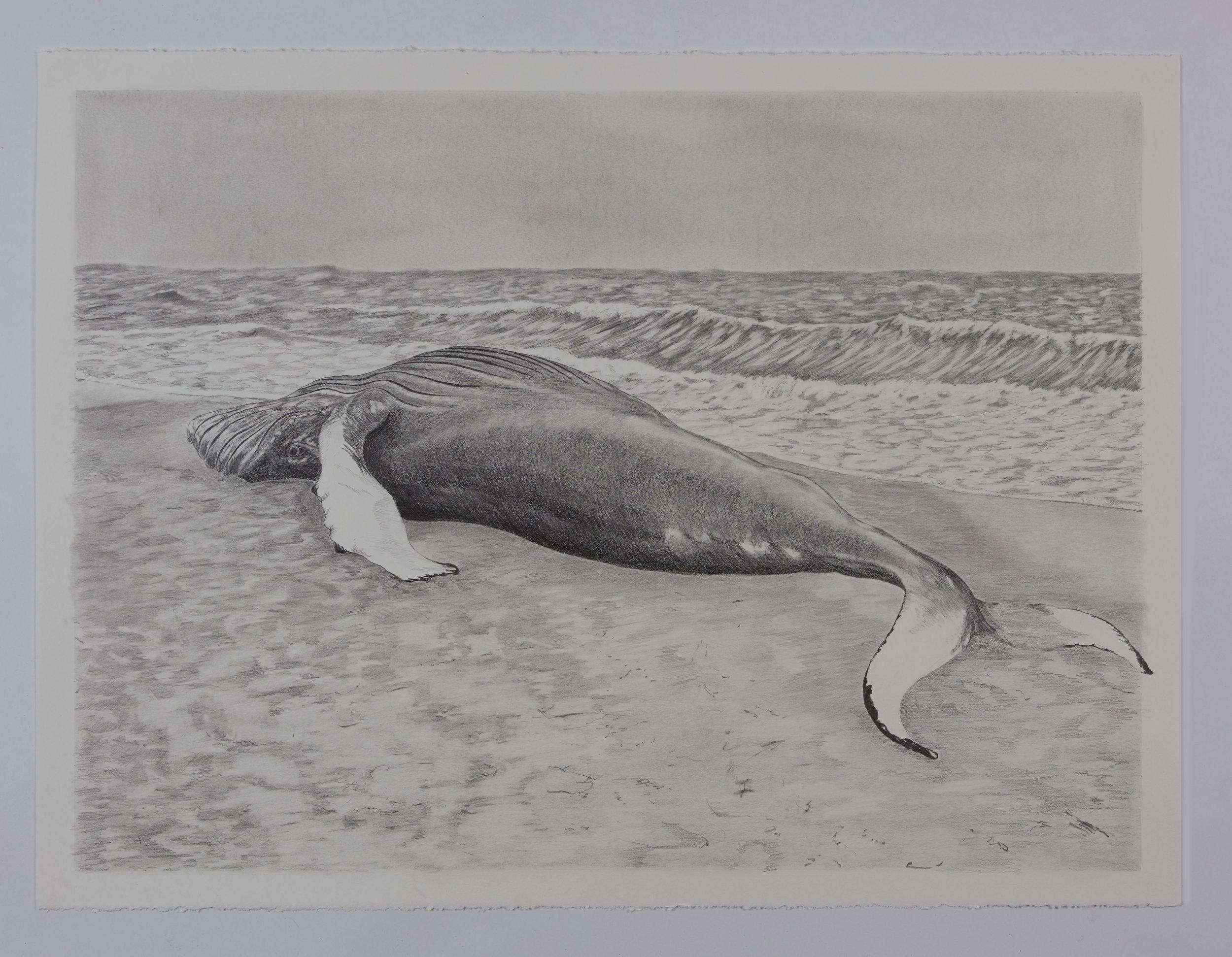 Beached Humpback