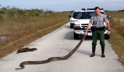 Pet pythons were released into the Florida Everglades and eventually established resident populations. They are now eating their way through the ecosystem, decimating the native species.
