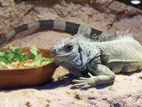 Green Iguanas can be difficult to handle and even harder to place in new homes. Unfortunately, euthanasia may be the only option for these common pets.