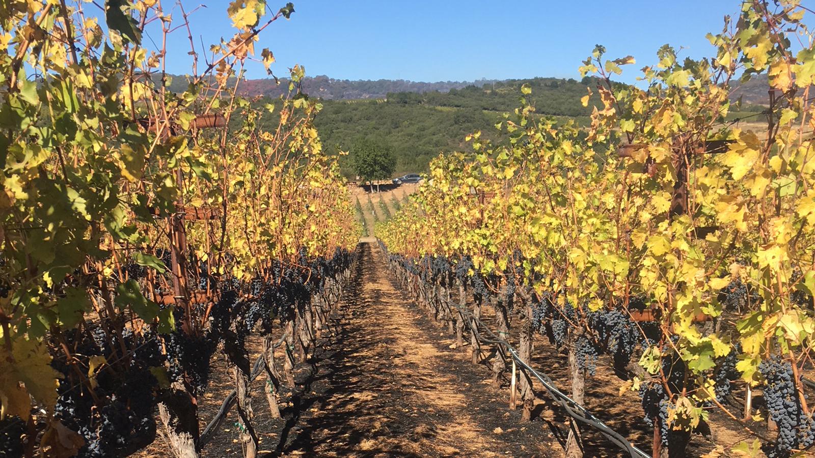 Photo by: Courtesy Michael Mondavi Family Estate  Scorched ground and shriveled grapes were left behind at Michael Mondavi's Atlas Peak vineyard. Photo taken from Wine Spectator