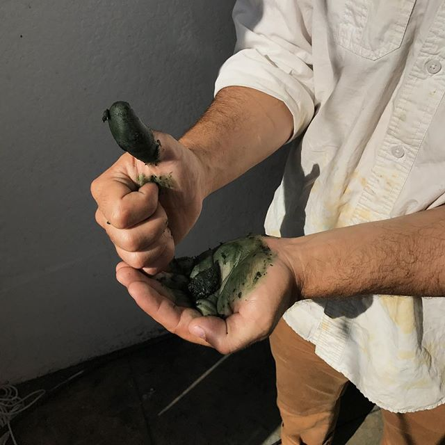 When you crush natural indigo leaves, you destroy the membrane that separates two different molecules (indican and a beta-glucosidase). They combine in the presence of oxygen to form indigotin, the pigment that can be used in the indigo vat. The green on the hands here, given more time to oxidize will become dark blue and stain the skin until it is scrubbed and replaced. 🌿🌿🌱🌱🌱🌱 #greenthumb  #indigo  #naturaldyekits #persicariatinctoria #naturaldye