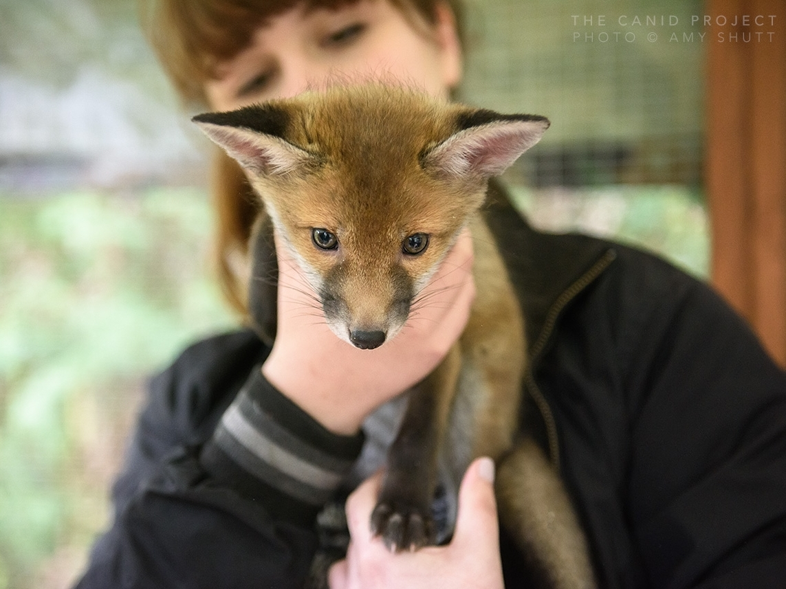 What We Do - We educate through visual storytelling, dynamic narrative, tourism, as well as community outreach in our fox rescue and deterrent services.