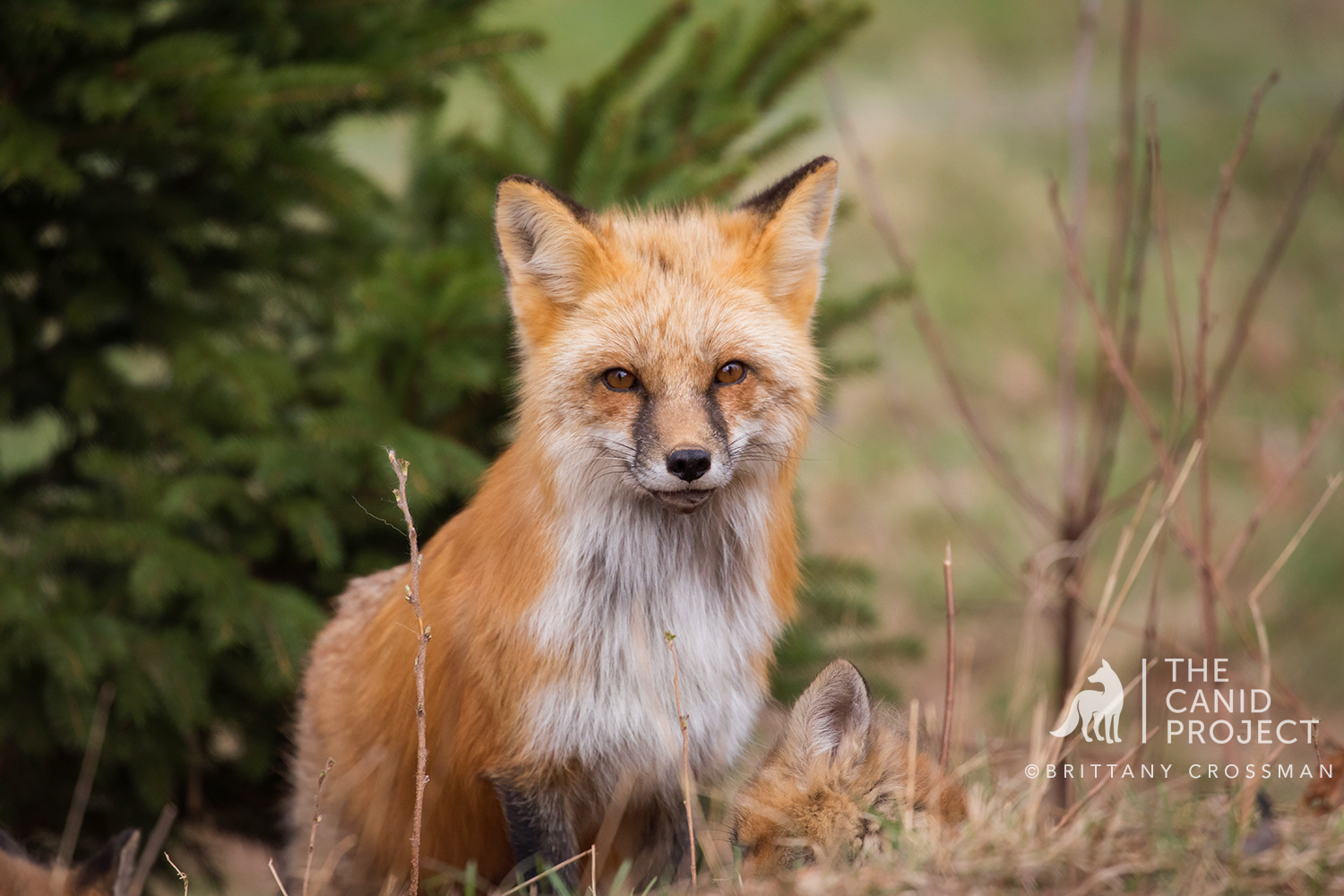 Red Fox Mother - Vixen