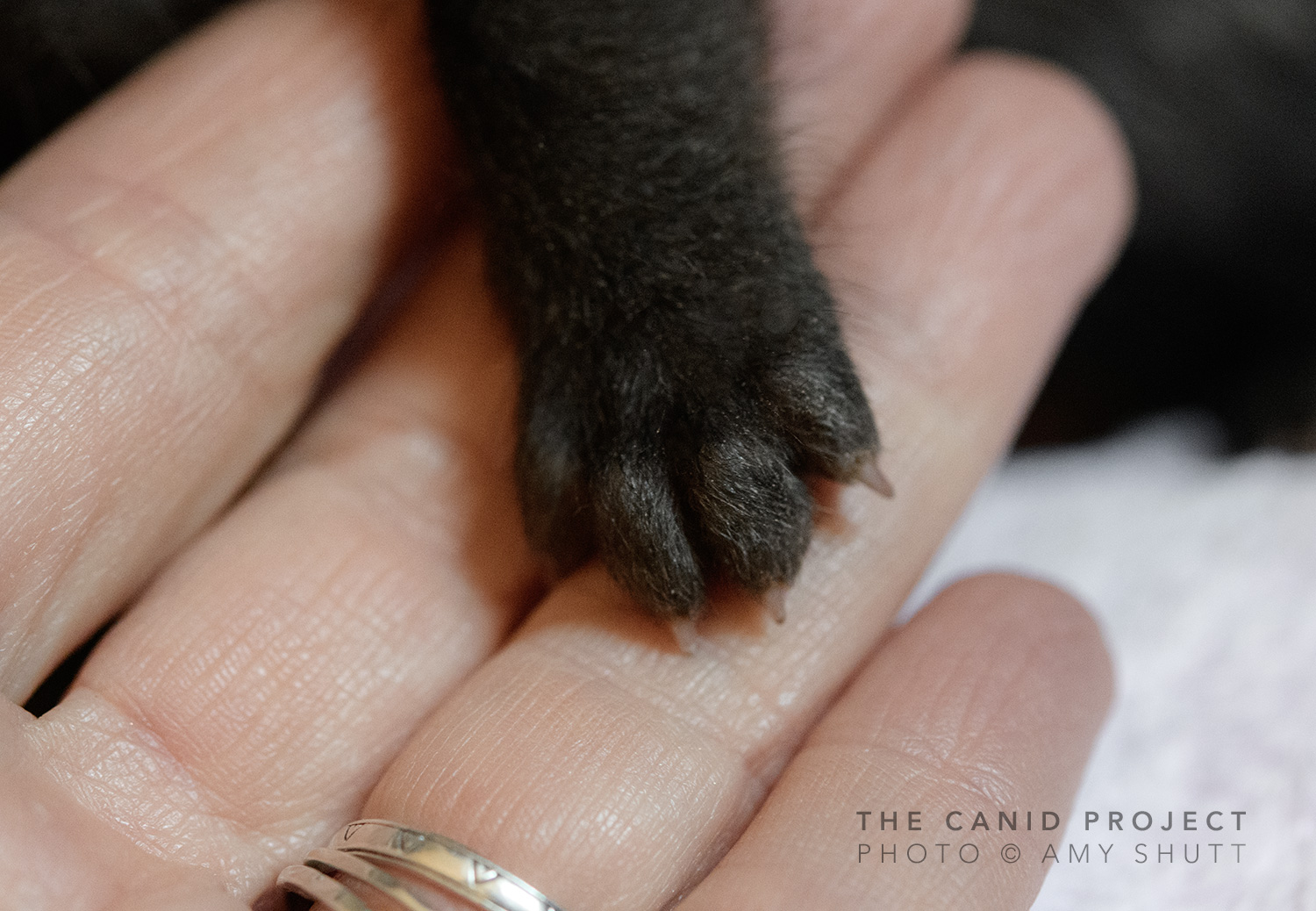 The tiny paw of a 2.5 weeks old fox cub in my hand