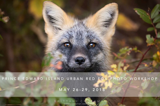 Join Us for a urban red fox photo workshop in may 2018! - Our aim with The Canid Project workshops is to provide experiences that will not just focus on taking great photographs, but also on how you can use your photography for conservation and education. We also focus strongly on the ethics of wildlife photography.