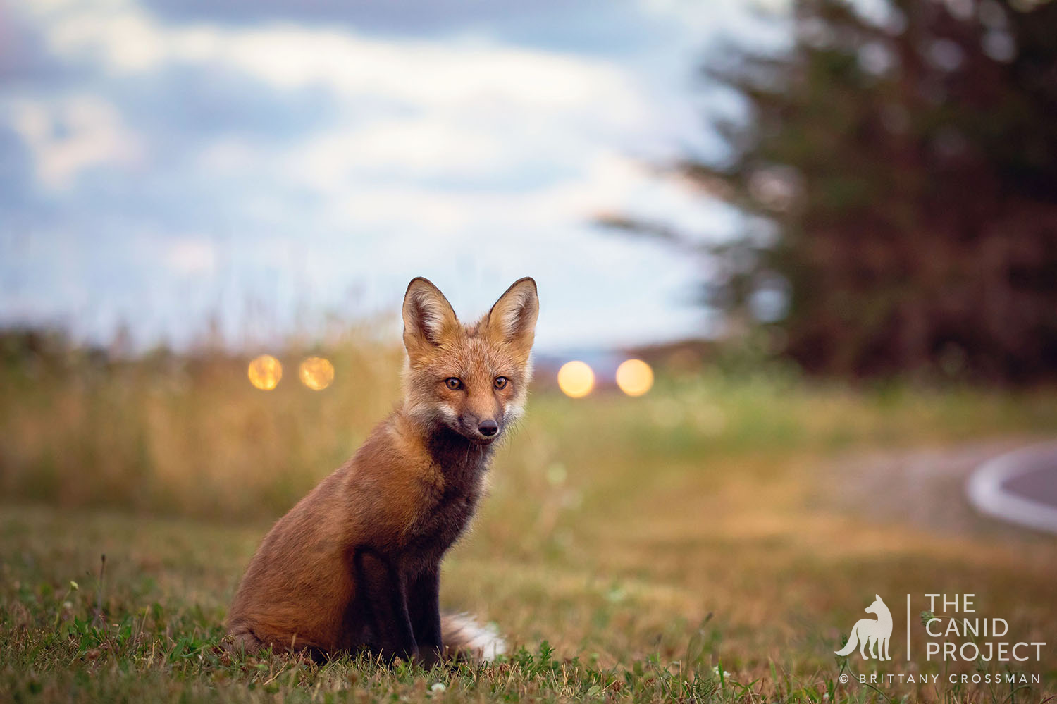 A YOUNG FOX IN CANADA EMERGES AT DUSK IN AN ECOTONAL AREA OF GREEN SPACE AND HUMAN MAINTAINED ROADS AND LOTS.