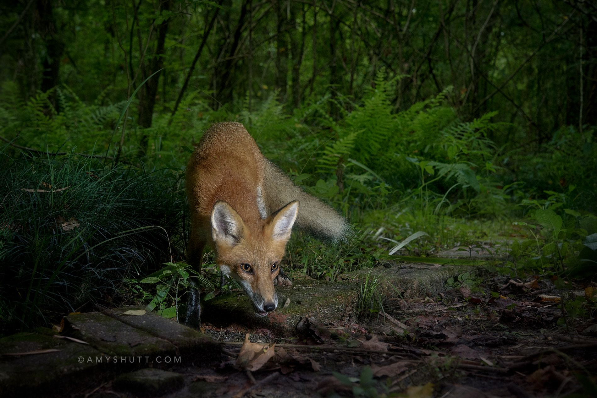 One of the fox kits of 2017 two weeks after release.  This photo was captured with a remote Digital DSLR triggered by a PIR Sensor and using flashes.