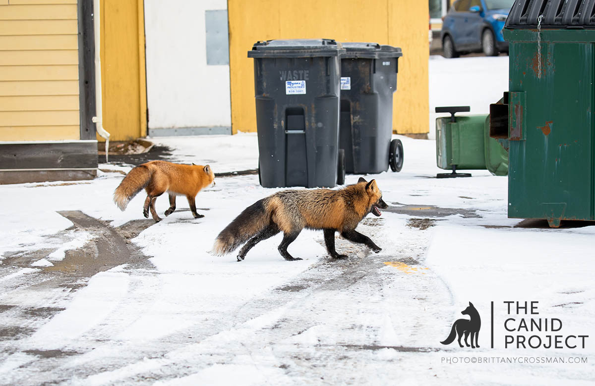 RED FOXES EXPLORE THEIR URBAN HABITAT IN SEARCH OF RESOURCES