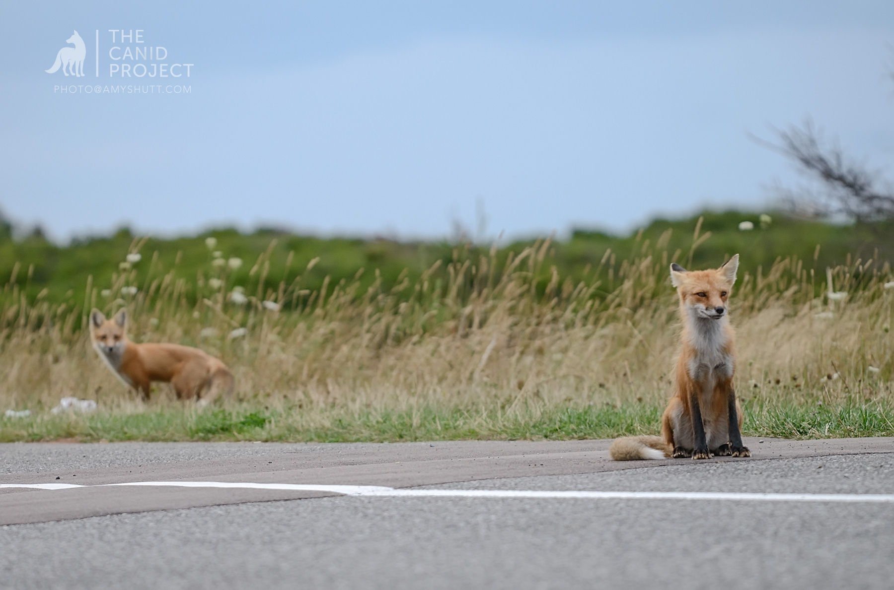 A FATHER FOX PANHANDLES ON THE SIDE OF THE ROAD FOR FOOD, AS HIS YOUNG KIT WATCHES AND LEARNS. PANHANDLING IS A DANGEROUS WAY TO MAKE A LIVING FOR FOXES AND OTHER WILDLIFE IN NATIONAL PARKS.  (THIS PHOTO WAS TAKEN IN PRINCE EDWARD ISLAND NATIONAL PARK).