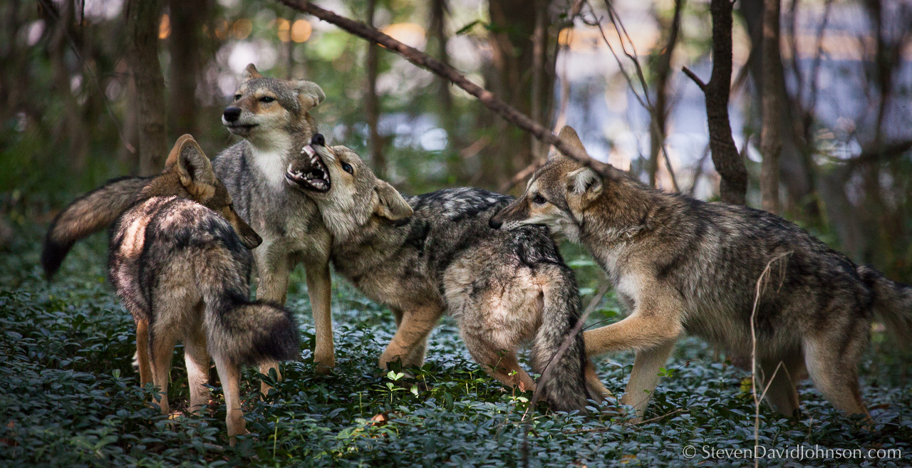 I was watching two of the coyotes drowse in the creeping myrtle. When a third one came, there was a bit of agitation and playful nipping ensued. When the fourth arrived, THERE WAS AN ALL OUT MELEE. And it happened in complete silence - a furry ballet of leaping, wrestling, and teeth-baring. And they were all fine afterwards!