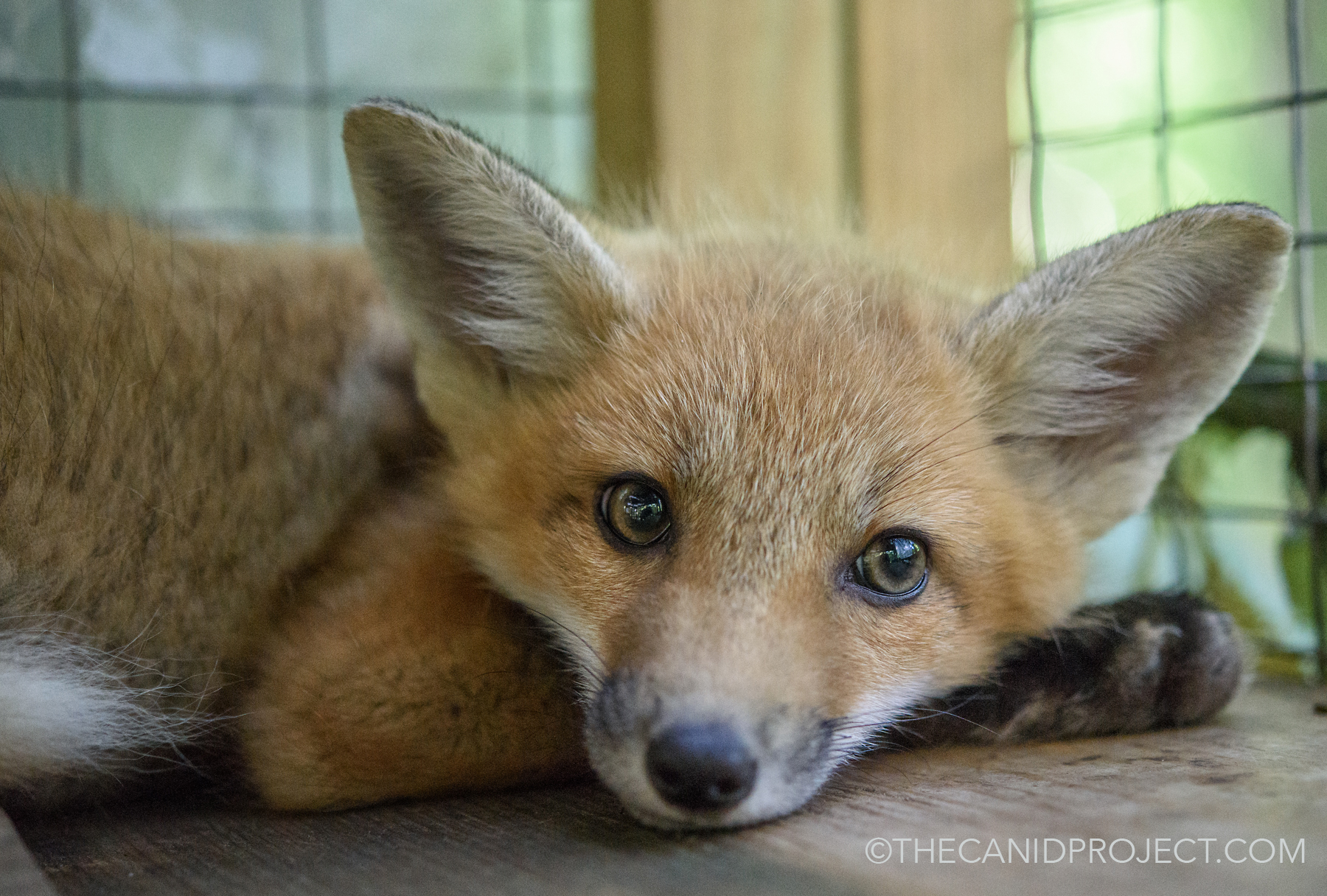 We need a new enclosure! - Please consider helping us build the new fox enclosure which is desperately needed for our young foxes. Also, in order for us to take in new orphaned or injured foxes, we must have this new enclosure!Please visit our New Enclosure Page: HERE