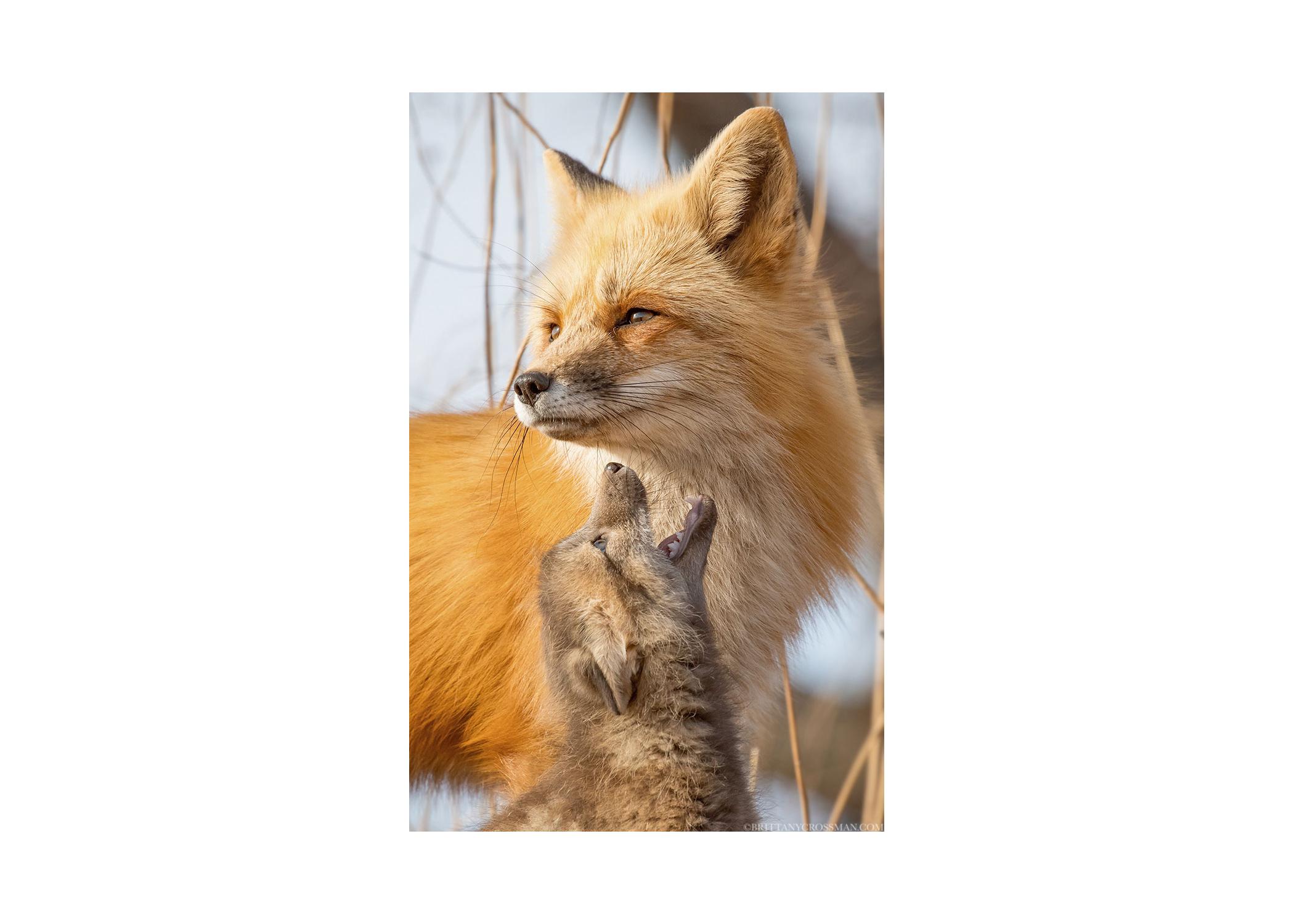 red-fox-vixen-and-kit-PrintSale02-b.jpg
