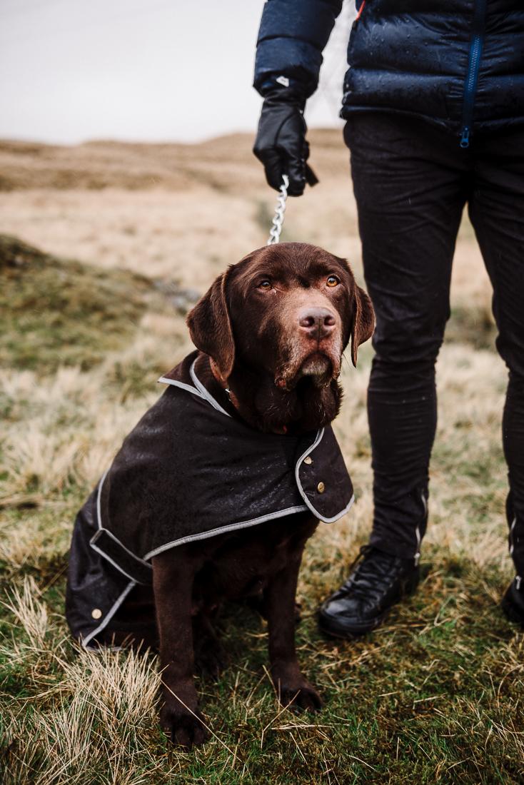 Portrait photo of chocolate lab. Lancashire dog photography