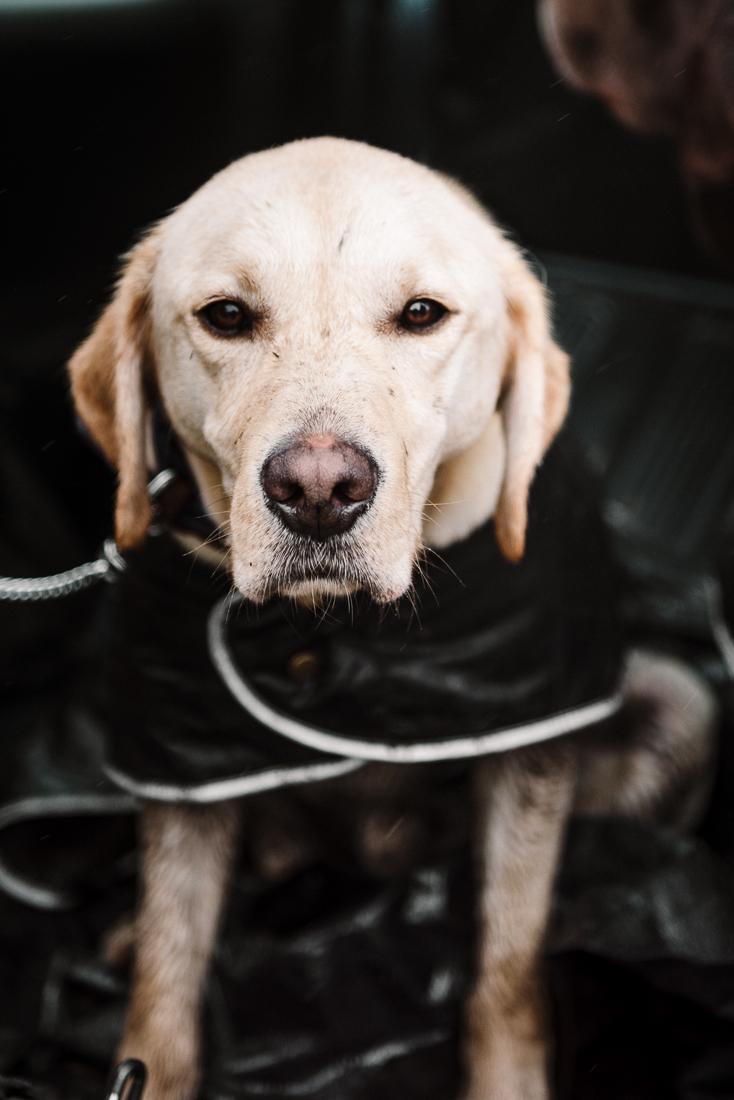 Portrait of Golden Labrador. Lancashire wedding photographer