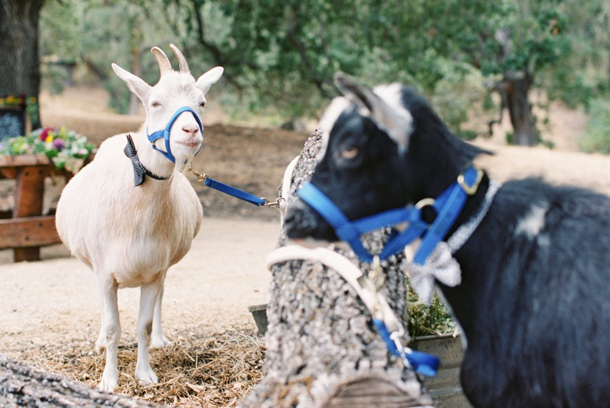 www.santabarbarawedding.com | Michael + Anna Costa Photography | Refugio Ranch | Alegria by Design | Like a Letter Videography | The Farm Stead | Goats