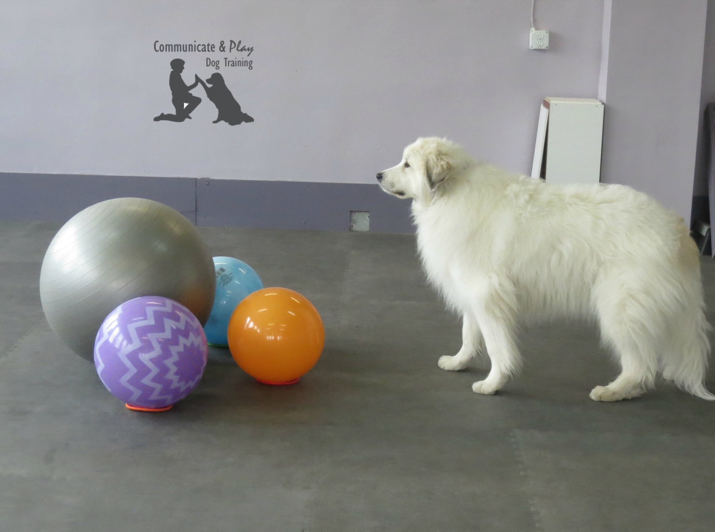 Great Pyrenees - Treibball