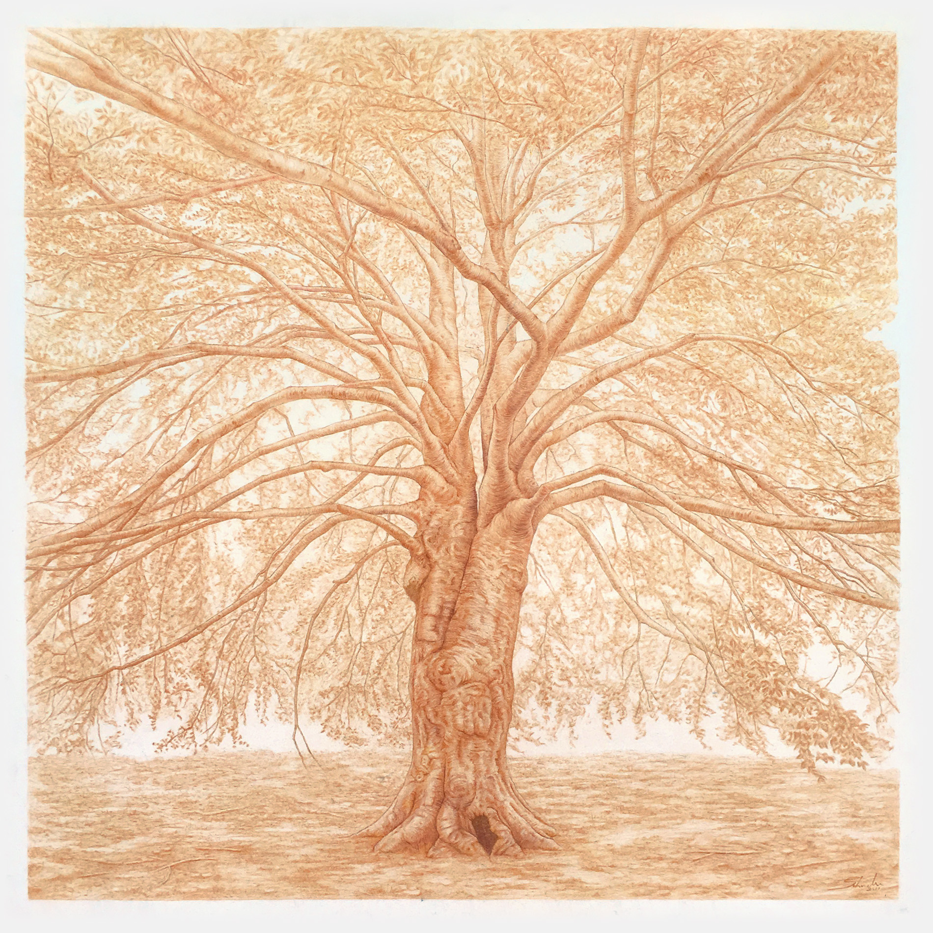 """Beech Tree   pastel pencil on paper  32"""" x 32""""  framed size: 38"""" x 38"""" natural cherry frame with off-white matt   $2,200"""