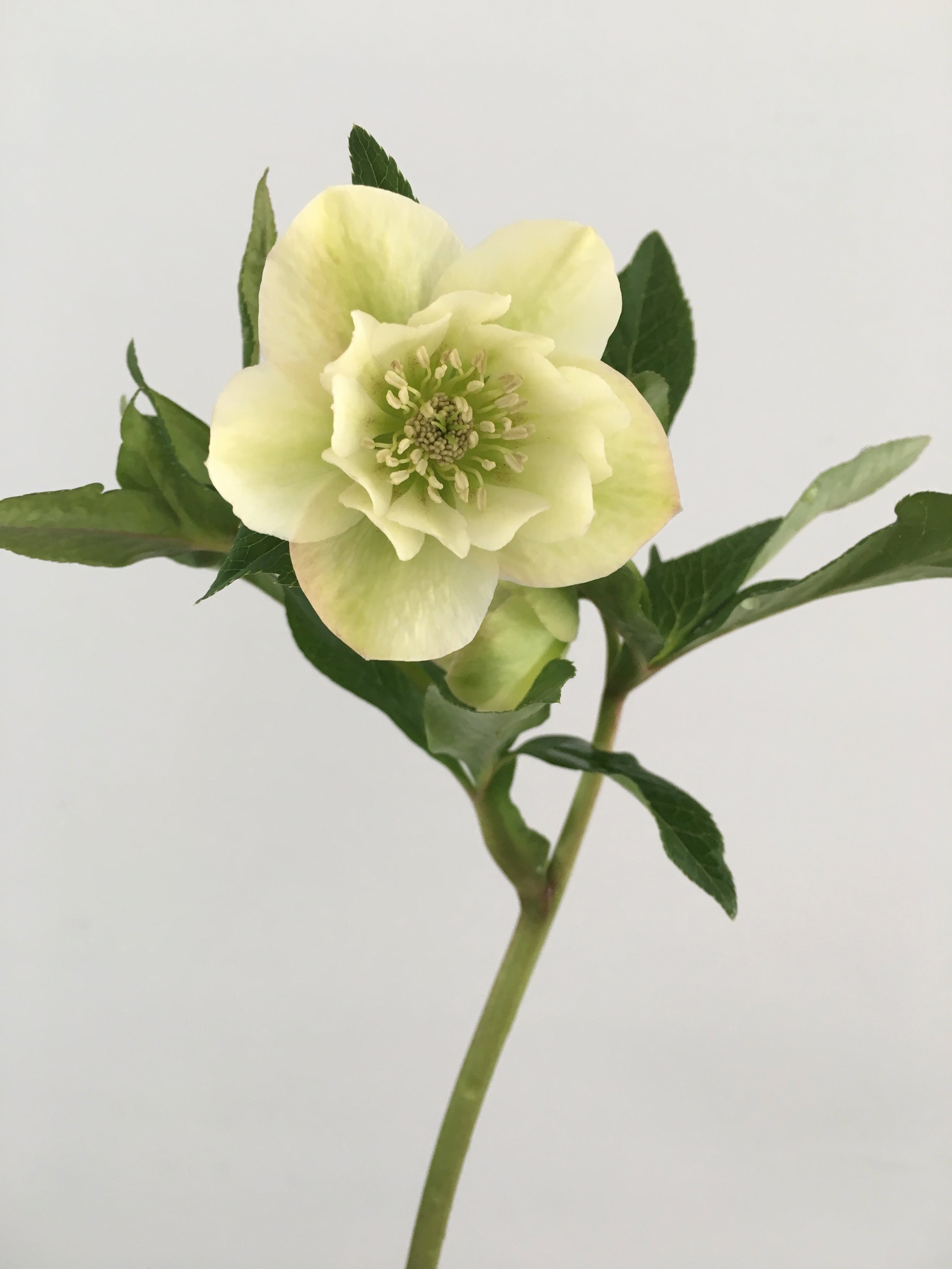 Video How To Grow Hydrate And Hold Hellebores As Cut Flowers