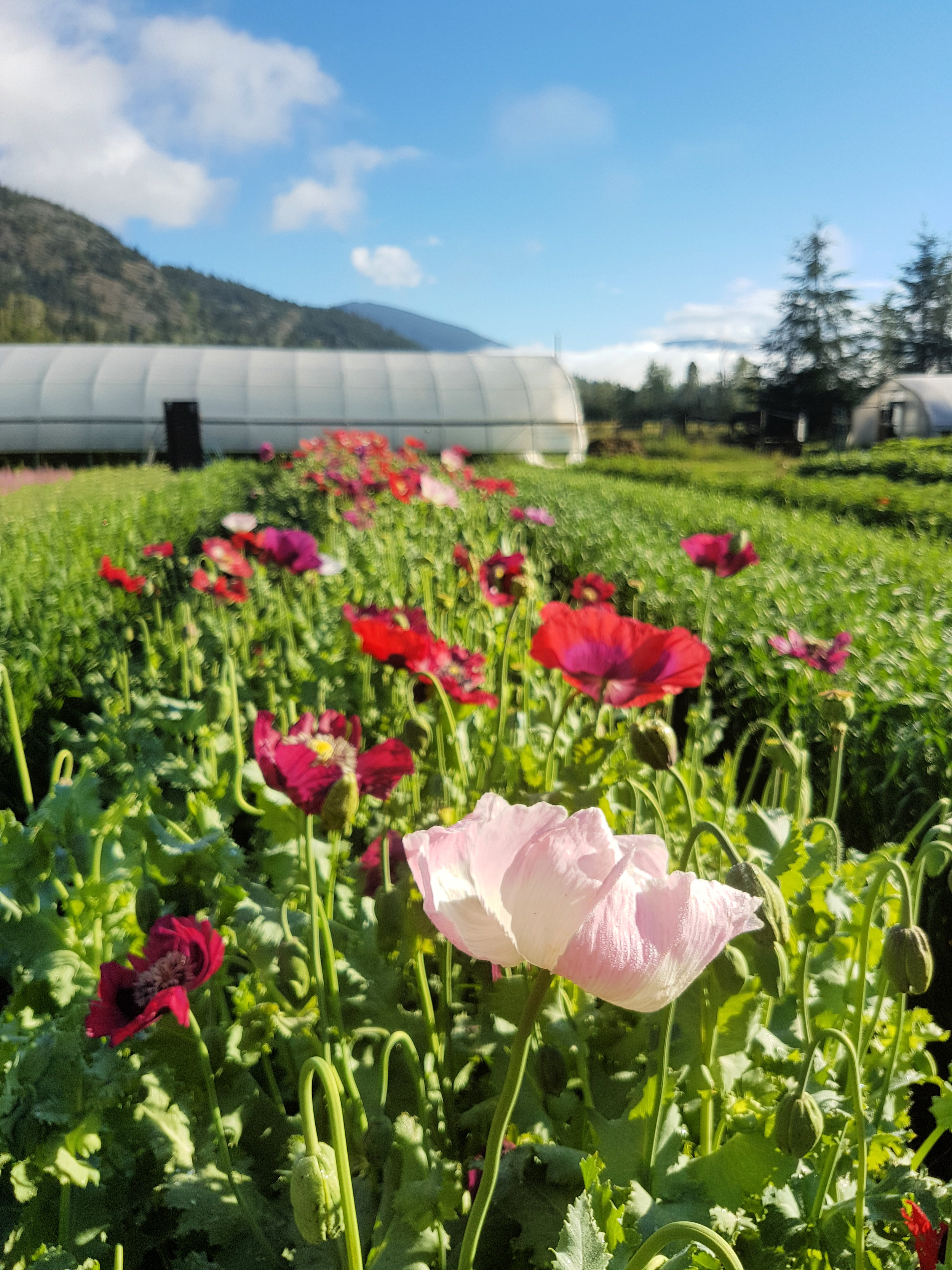We just love having long rows of poppies blooming in our fields- and so do the bees! This flower attracts honey bees like nothing else, then later makes beautiful, large globe shaped pods.