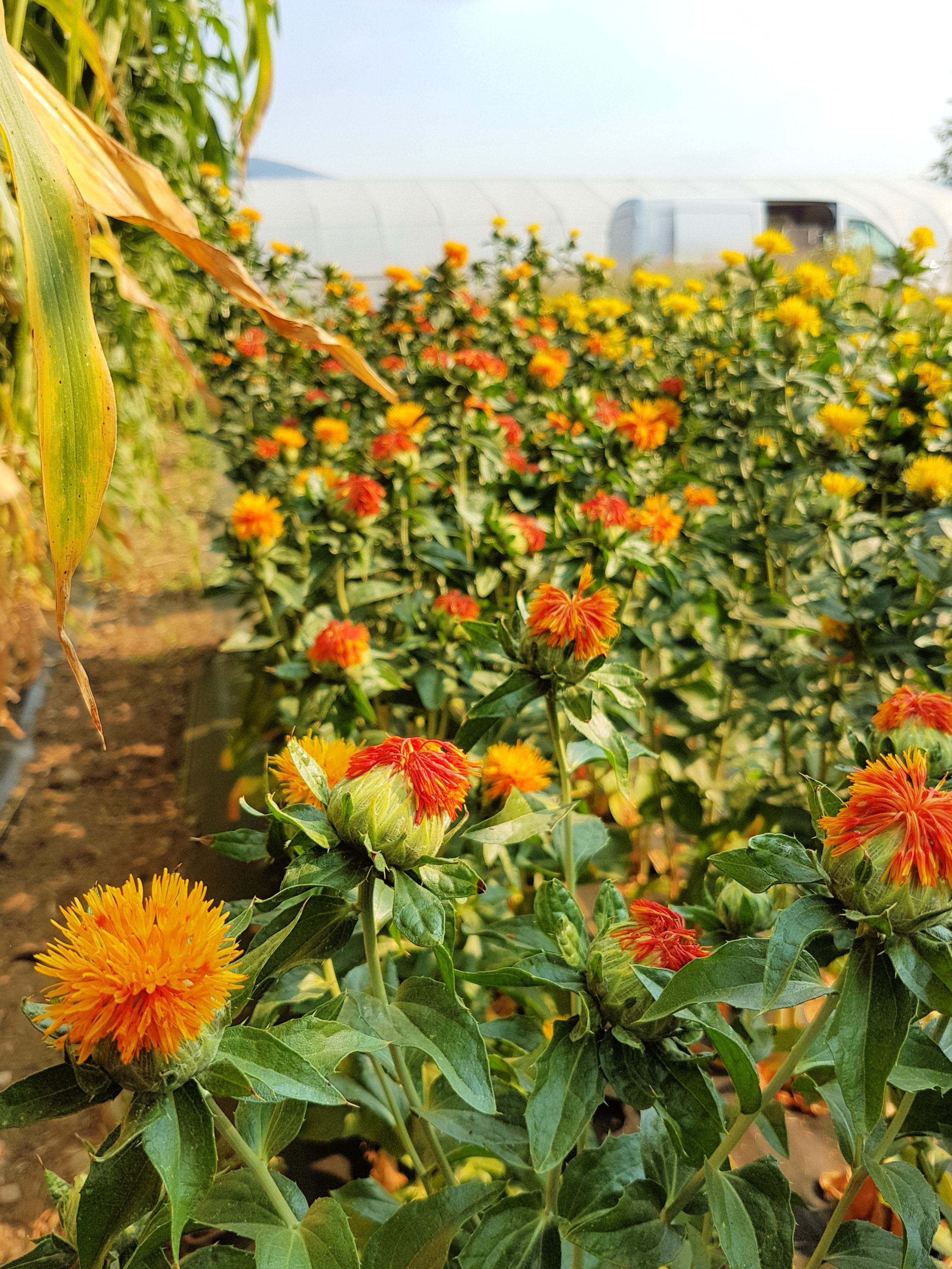Safflower is another simple flower to grow. It has great color, interesting buds, and tolerates the heat of summer.