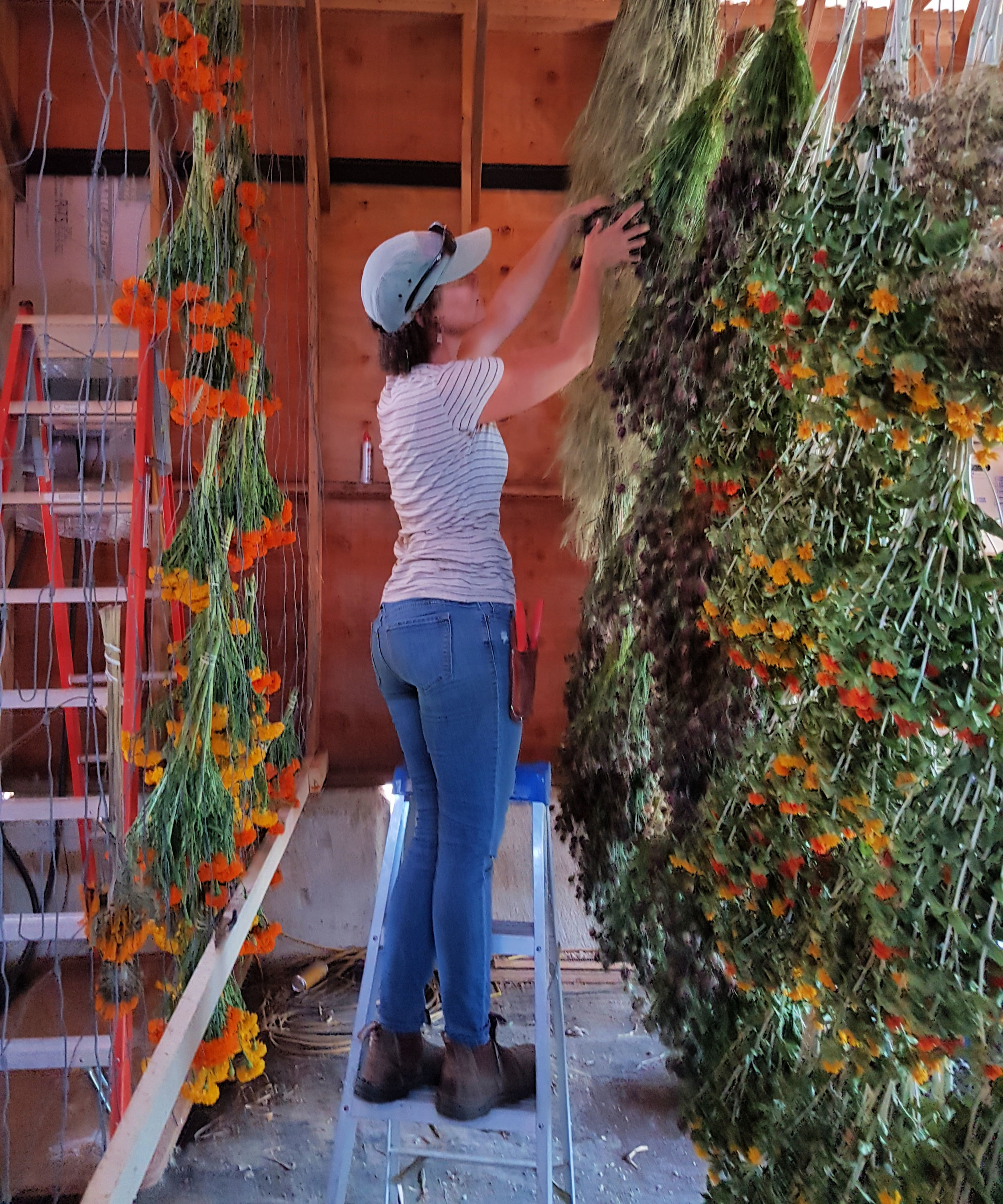 We created a large vertical rack in our barn so we can hang lots of bunches in the middle of our hot dry summer.