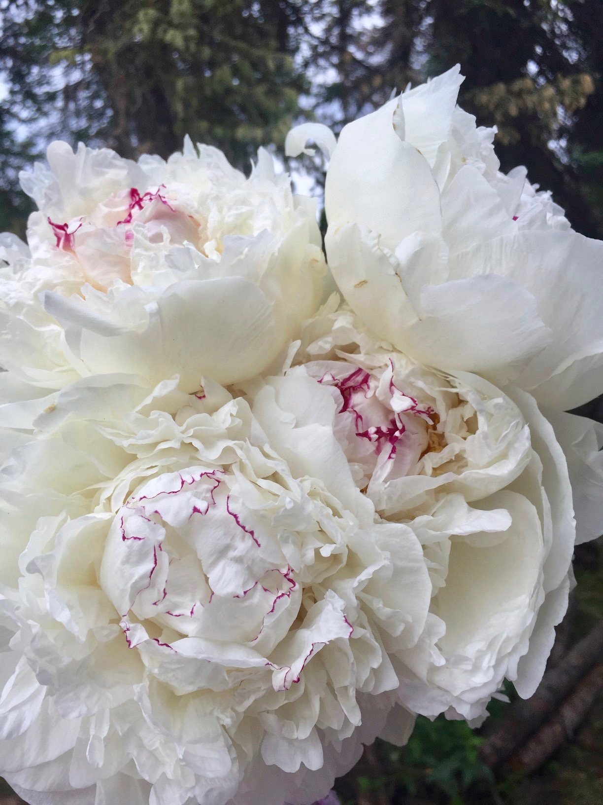 How to Plant a Peony Cutting Garden from Team Flower