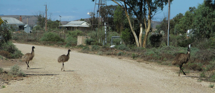 Some of the resident Emu population out for an afternoon stroll
