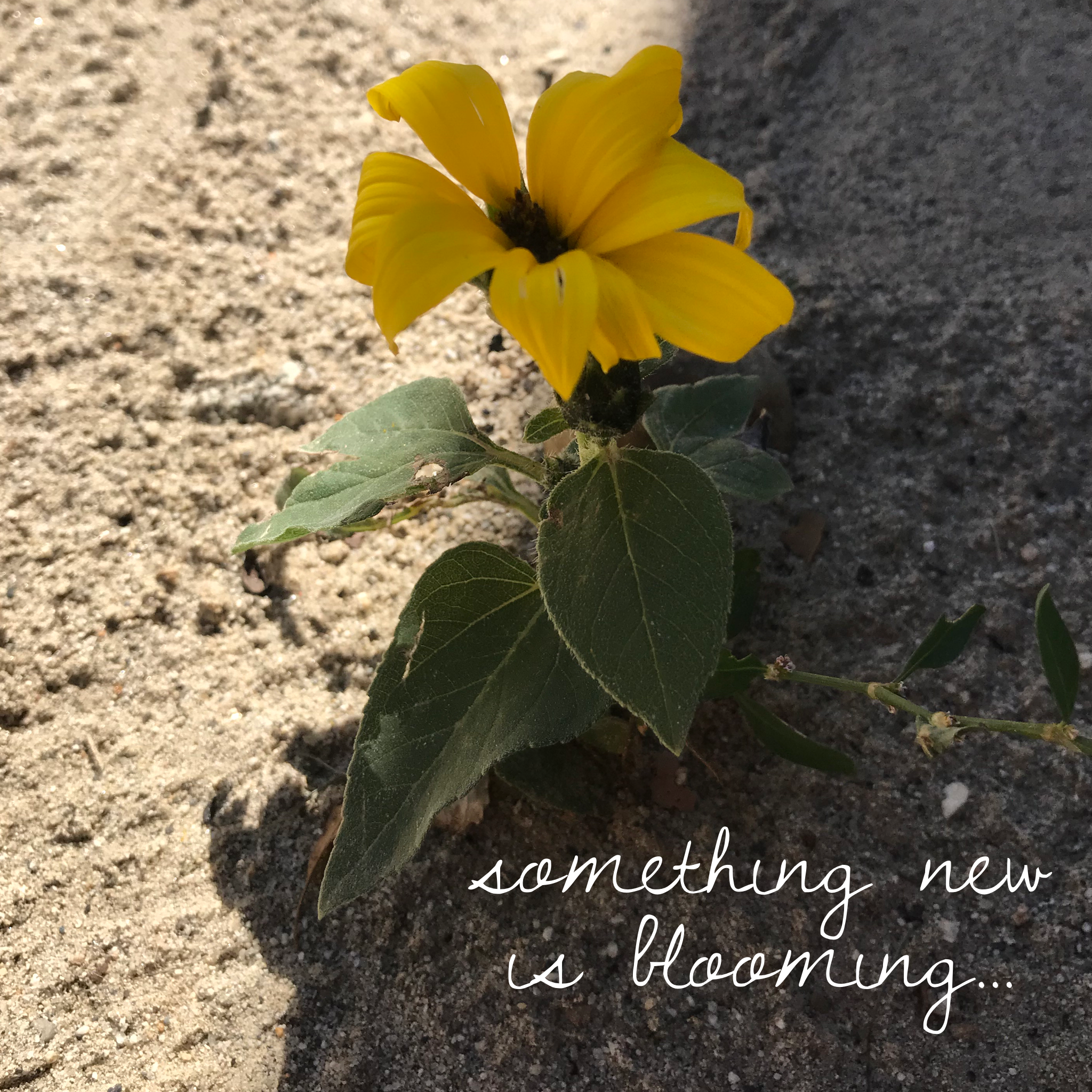 """[image description: a small sunflower with the caption """"something new is blooming…""""]"""