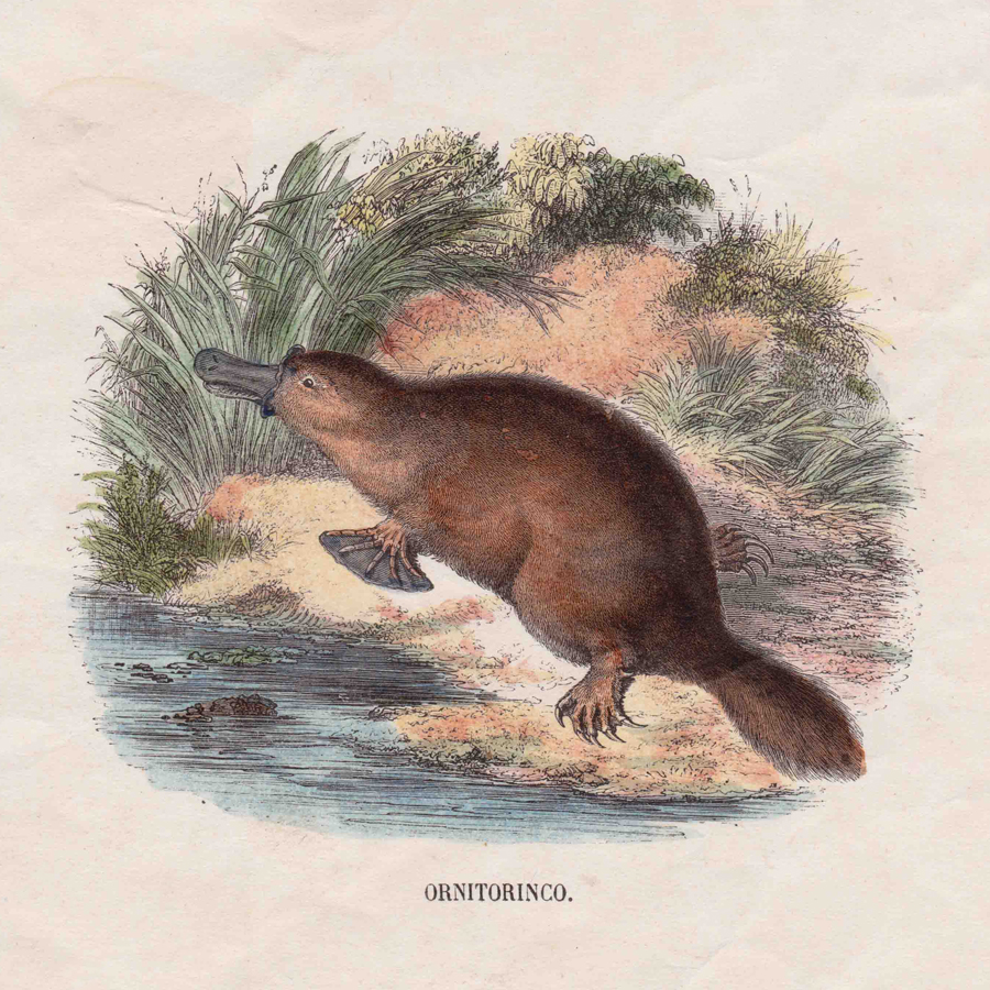 A  platypus  fit for a cover.