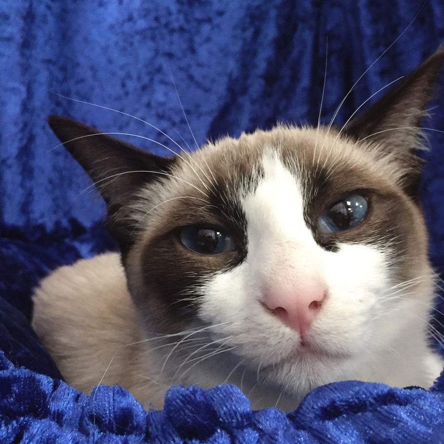 Snowshoe No. 352  (Seal bi-colour female) at the 45th ACF National Cat Show.