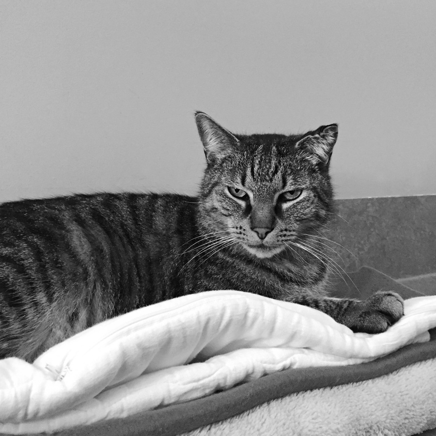 Please meet Rocky , a eight-year-old tabby, number 871752, at the RSPCA Burwood East shelter, still up for adoption. (Affectionate Rocky sniffed my head, and booped my nose repeatedly, following me wherever I moved. A real gentle giant with a raggedy left ear, he would be happy sharing with another cat. I wanted to scoop him up and take him home with me.)   RSPCA Victoria adoption