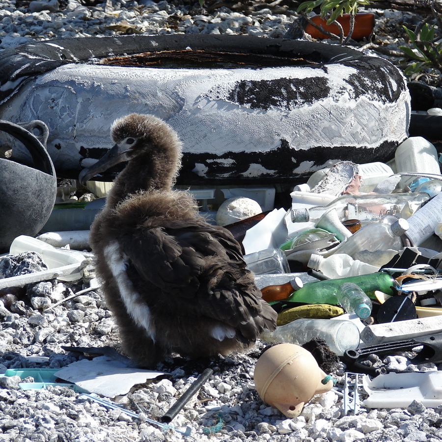 'Habitat with Laysan Albatross chick and marine debris, Midway Atoll, Spit Island' (detail), photographed by Forest & Kim Starr, 3rd of June 2008, from 'Plants of Hawaii'