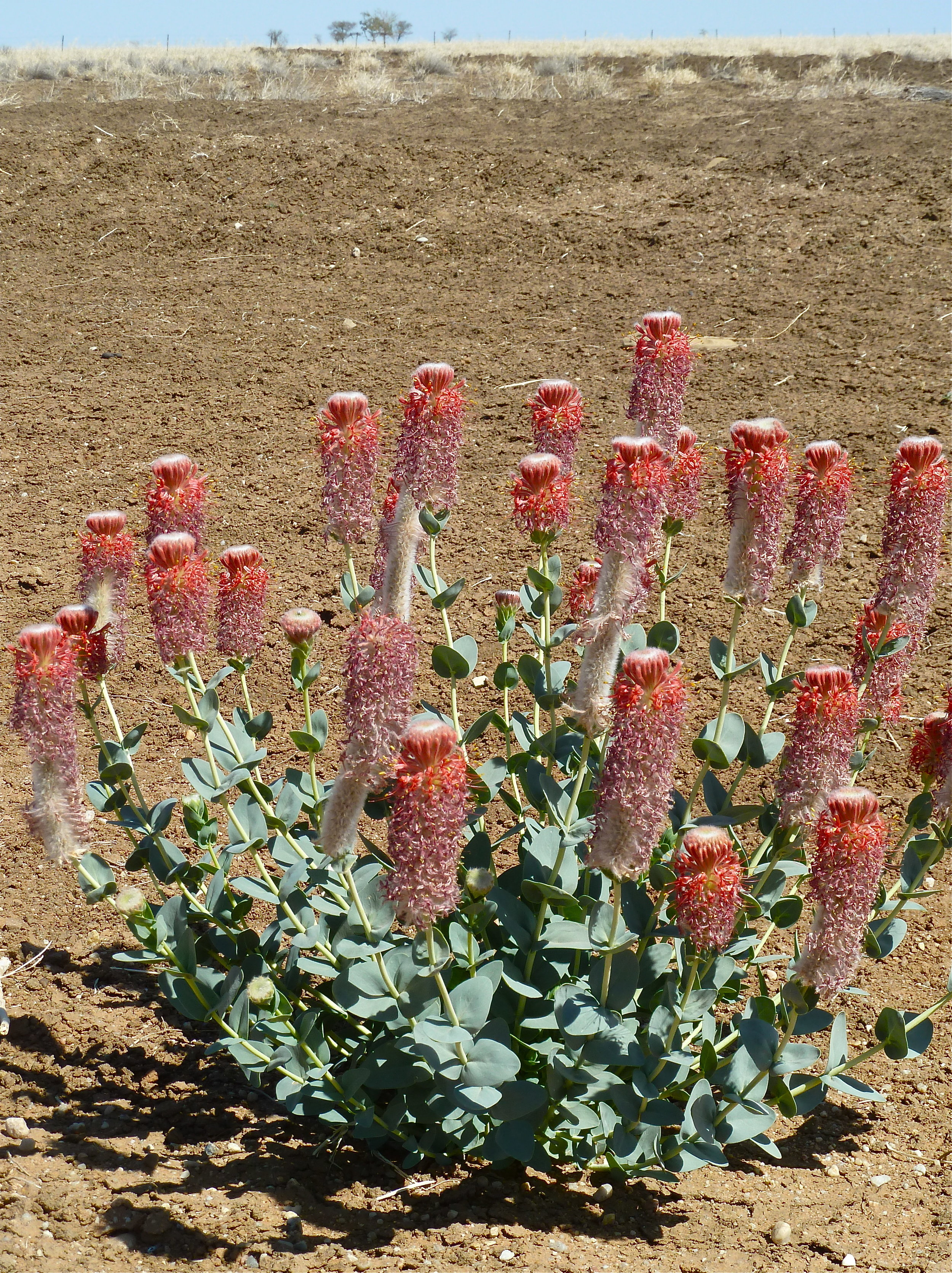 Flinders Poppies