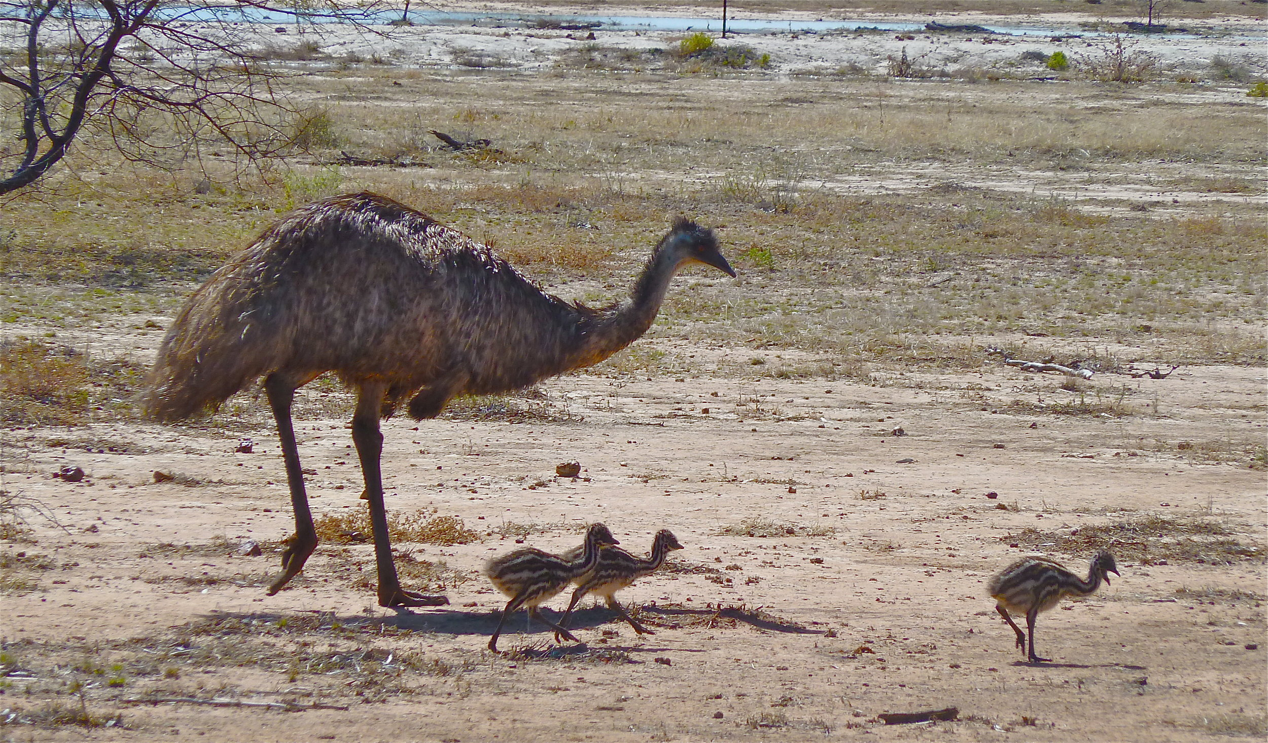 Emus, Bowra Sanctuary, near Cunnamulla, Queensland