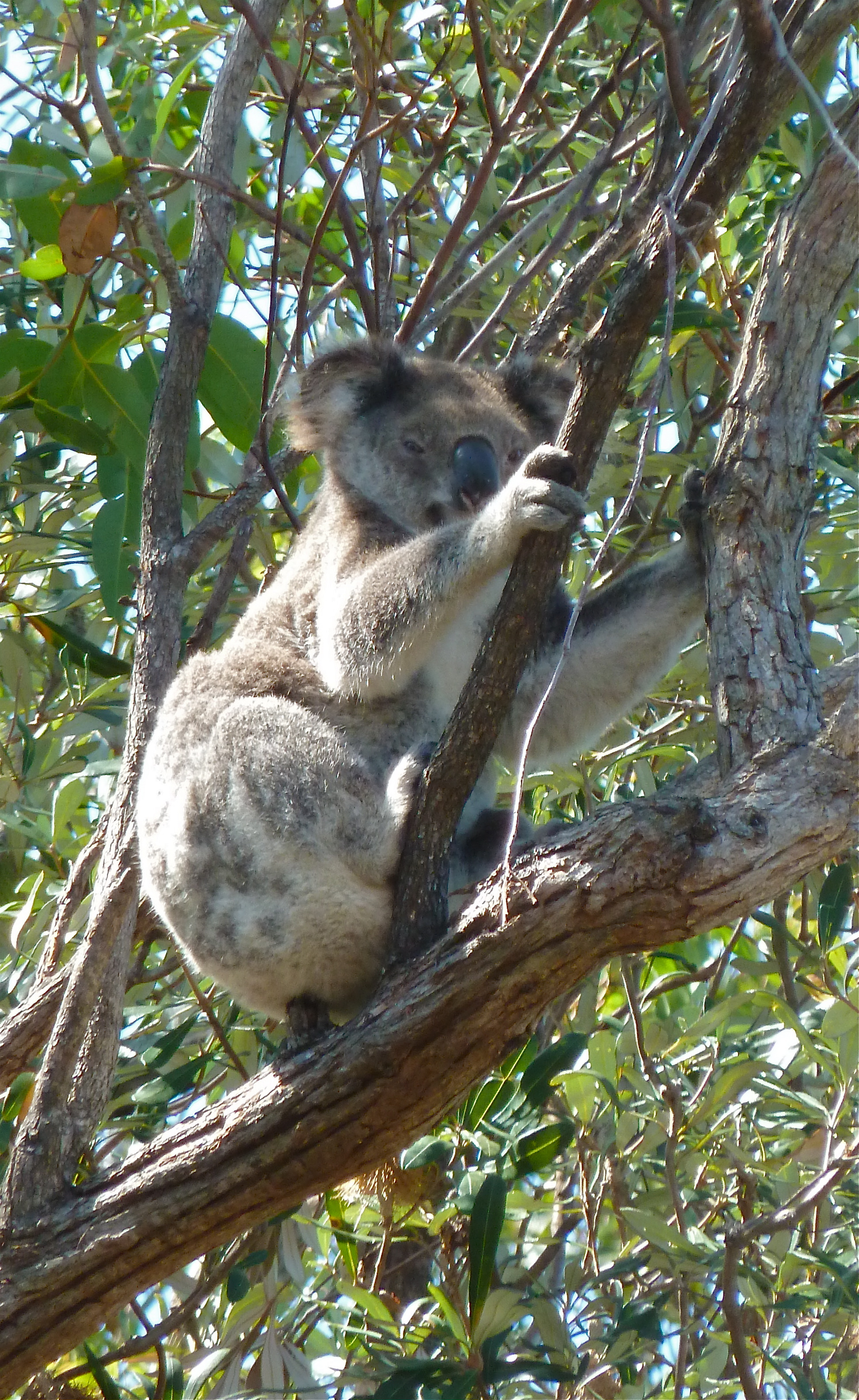 North Stradbroke Island Koala, Queensland