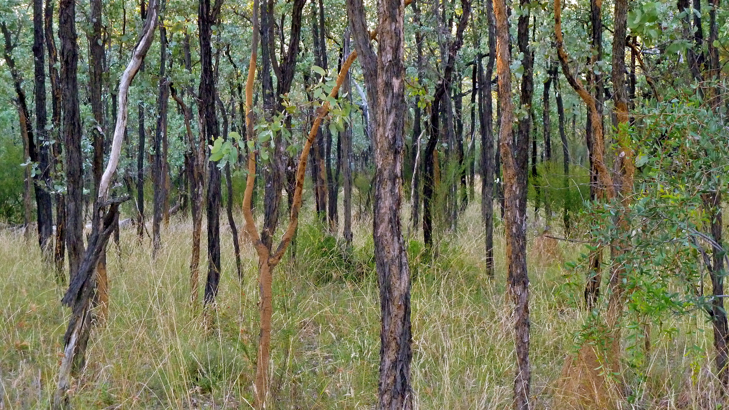 Remnant Desert Uplands woodland on Bimblebox Nature Refuge