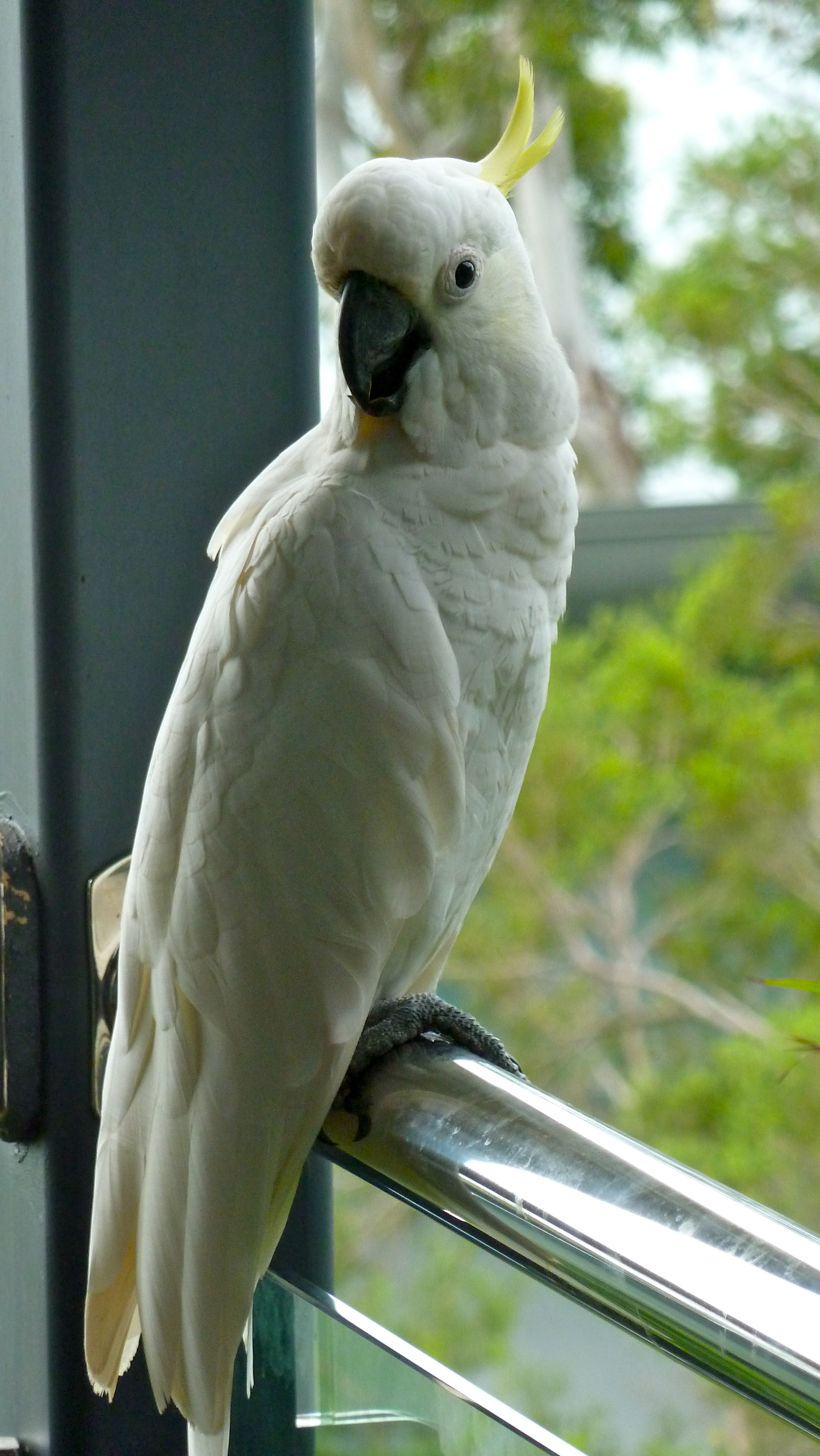 Feb:  Sulphur-crested room-mate, Hamilton Island, Whitsundays