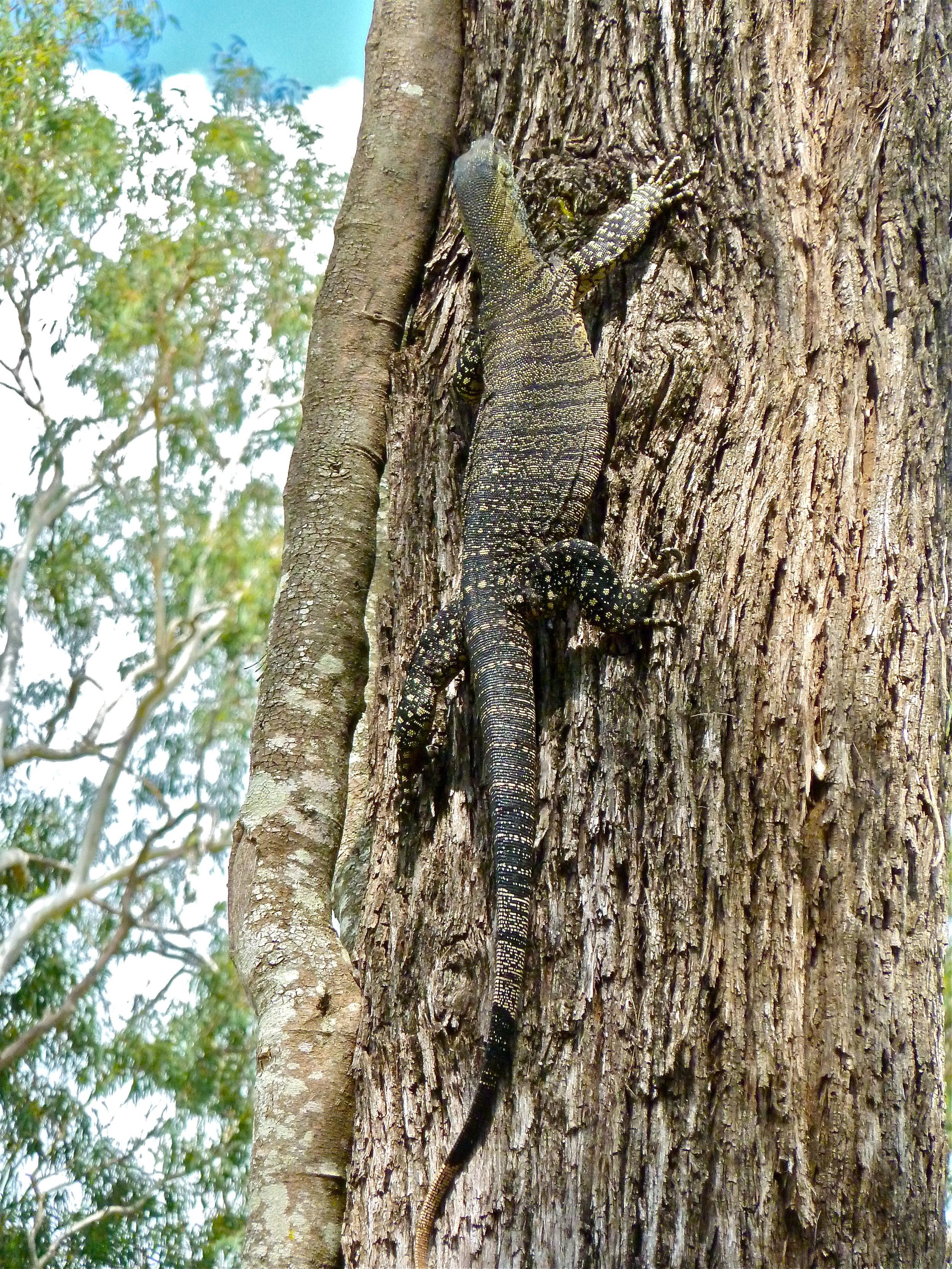 Mar:  Monitor Lizard playing hard to get, near Jimna, Queensland